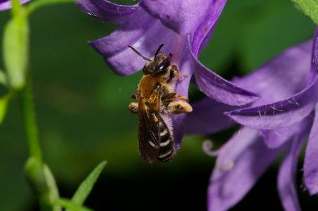 Andrena-curvungula-Weibchen