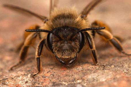 Andrena-flavipes-Weibchen