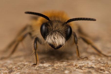 Andrena-gravida.Männchen