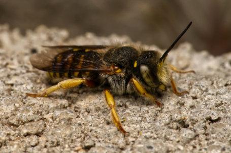 Anthidium-oblongatum-Weibchen