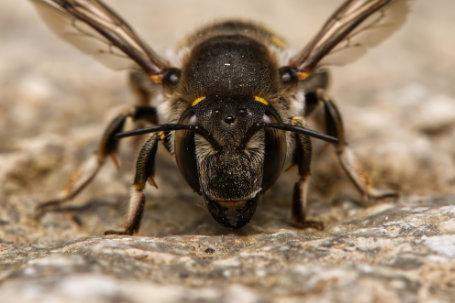 Anthidium-septemspinosum-Weibchen