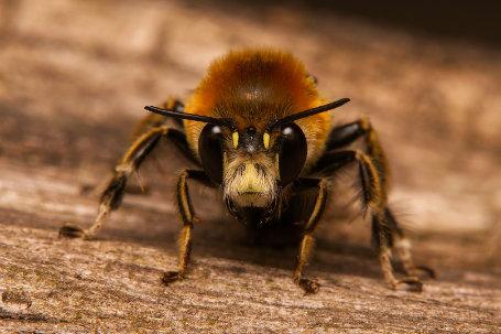 Anthophora-plumipes-Männchen