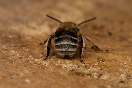 Anthophora-pubescens-Männchen