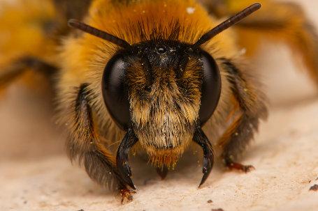 Dunkelfransige Hosenbiene Weibchen