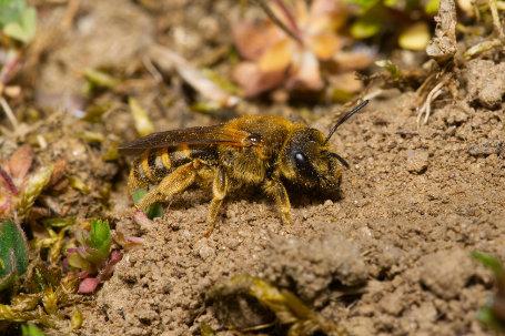 Skabiosen-Furchenbiene Weibchen