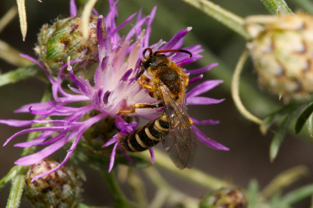 Sechsbindige Furchenbiene Maennchen