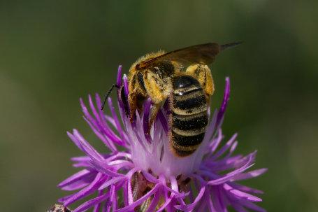 Sechsbindige Furchenbiene Weibchen