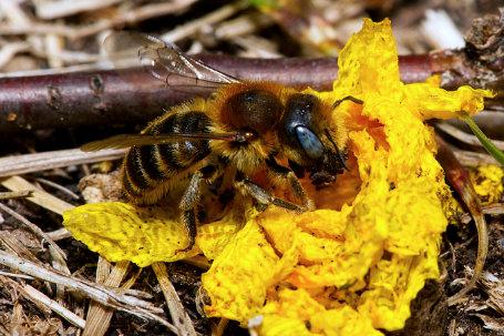 Hoplitis mocsary Weibchen k 3