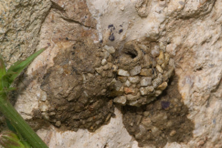 Osmia anthocopoides Nest k 2