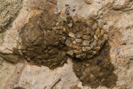 Osmia anthocopoides Nest k 3