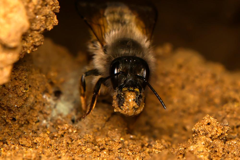 Osmia bicornis Weibchen k 3