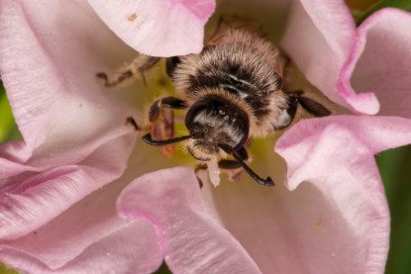 Große Spiralhornbiene Maennchen