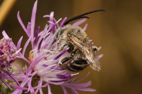 Flockenblumen-Langhornbiene Maennchen