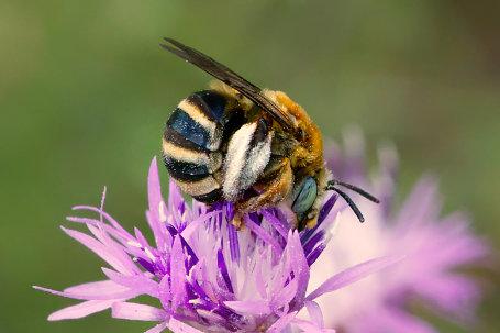 Flockenblumen-Langhornbiene Weibchen