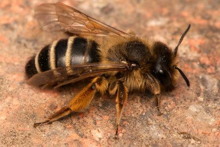 Andrena flavipes Weibchen k 1