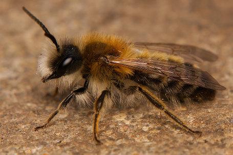 Andrena gravida Maennchen k1