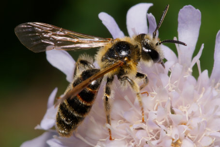 Andrena hattorfiana Maennchen k2