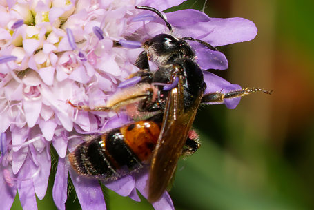 Andrena hattorfiana Weibchen k 3