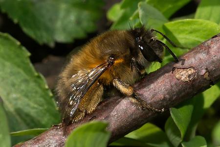 Anthophora plumipes Weibchen k2 5