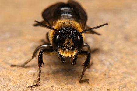 Megachile sculpturalis Maennchen k 1