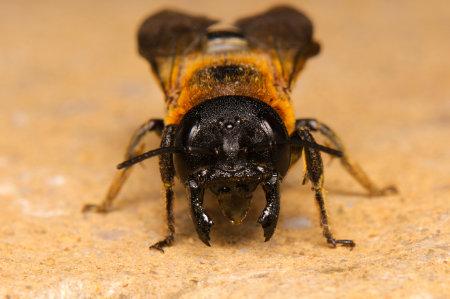 Megachile sculpturalis Weibchen k 10