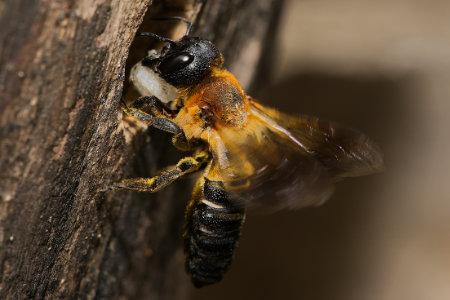 Megachile sculpturalis Weibchen k 3