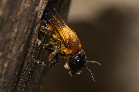 Megachile sculpturalis Weibchen k 4
