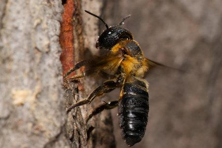 Megachile sculpturalis Weibchen k 5