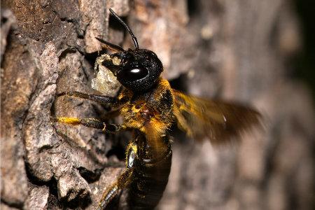 Megachile sculpturalis Weibchen k 8