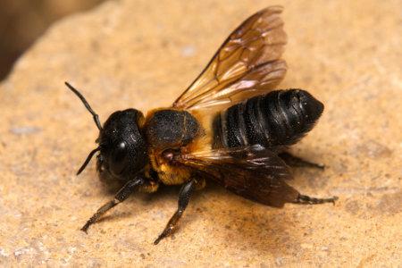 Megachile sculpturalis Weibchen k 9