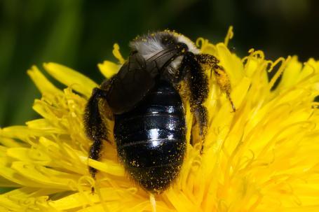 Andrena cineraria Weibchen k 2