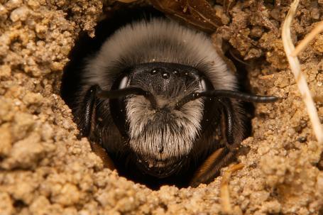 Andrena cineraria Weibchen k 3