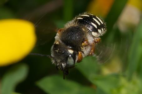 Anthidium punctatum Weibchen k2 7