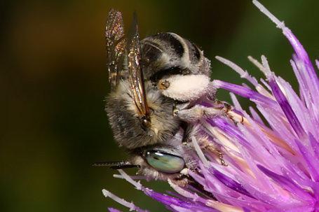 Anthophora bimaculata Weibchen k 1