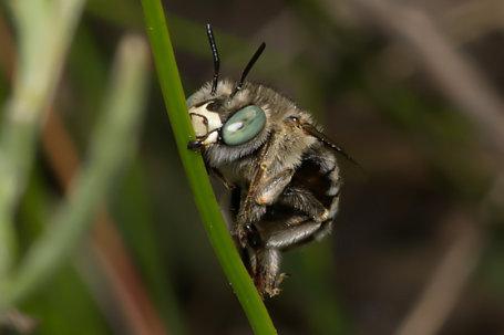 Anthophora bimaculata Weibchen k 2
