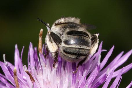 Anthophora bimaculata Weibchen k 3