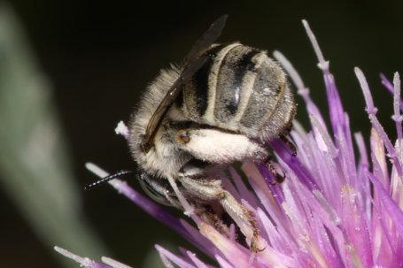 Anthophora bimaculata Weibchen k 5