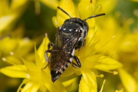 Coelioxys afra Weibchen k2 2