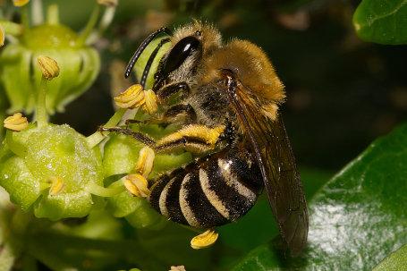 Colletes hederae Weibchen k2 5
