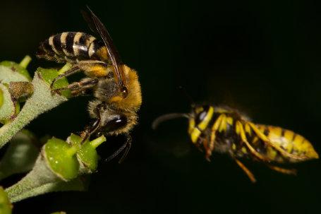 Colletes hederae Weibchen k2 6