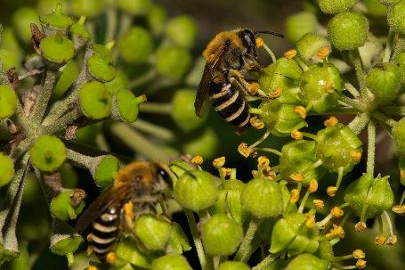 Colletes hederae Weibchen k2 8