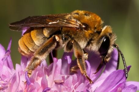 Eucera pollinosa Weibchen k2 5