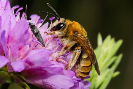 Eucera pollinosa Weibchen k2 6