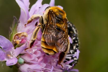Eucera pollinosa Weibchen k2 7