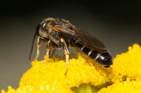 Halictus maculatus Maennchen k2 1