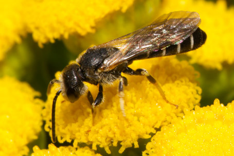 Halictus maculatus Maennchen k2 2