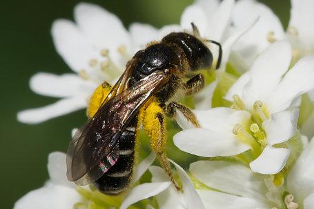Halictus maculatus Weibchen k2 1