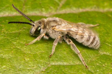 Halictus pollinosus Maennchen k2
