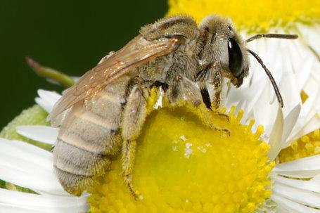 Halictus pollinosus Weibchen k2 1