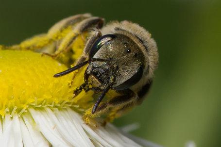 Halictus pollinosus Weibchen k2 2